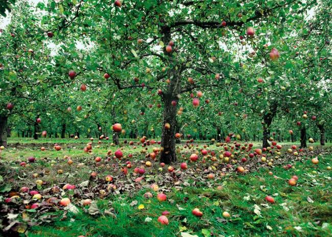 apple-falling